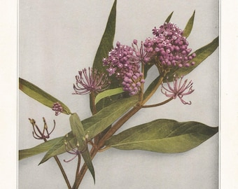 SWAMP MILKWEED Antique Botanical Wildflower Art Print Decor,vintage nature,garden,floral,herb print for shabby chic, cottage, country living