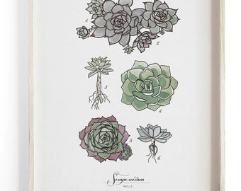 Sempervivum - Succulent Scientific illustration. Beautifully textured cotton canvas art print.  Large scale art