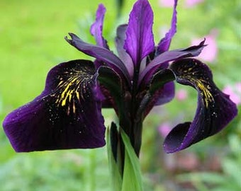 Iris chrysographes Black Gold 5 seeds