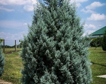 Arizona Cypress Tree 3-4 Foot