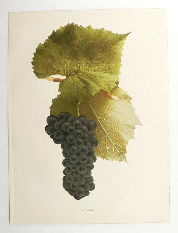 Vintage print of grapes antique fruit print 1908 ny grapes
