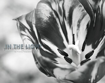 Tulip Macro in Black & White - Fine Art Photography