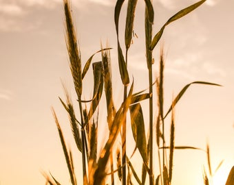 Wheat Sunset, The Wheat a golden color in the light of the setting sun in southern Lancaster County, Pennsylvania, USA