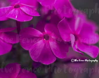Flower Photography, Wispy Pink, Magenta Flowers, Photography, Print, Home, Wall Decor, Foliage, Kitchen Decor, Dining Room Art