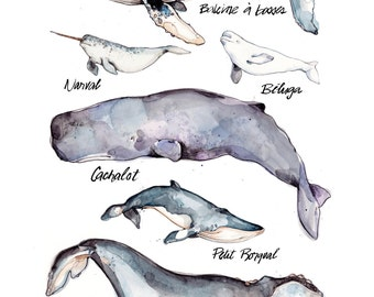 Whales Illustration | Whales Species | Nature | Animal | Biology | Drawing | Watercolor | Marie-Eve Arpin | Made in Quebec | Whale | Art