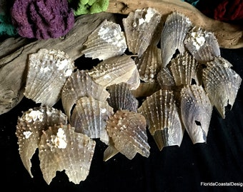 Beach Decor Stiff Pen Shells Natural Beach Craft Shells  Pen Shell Mussel Fan Shells Atrina Rigida (10)