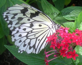 Butterfly with white wings -  Fine Art Photography ACEO - White Wings