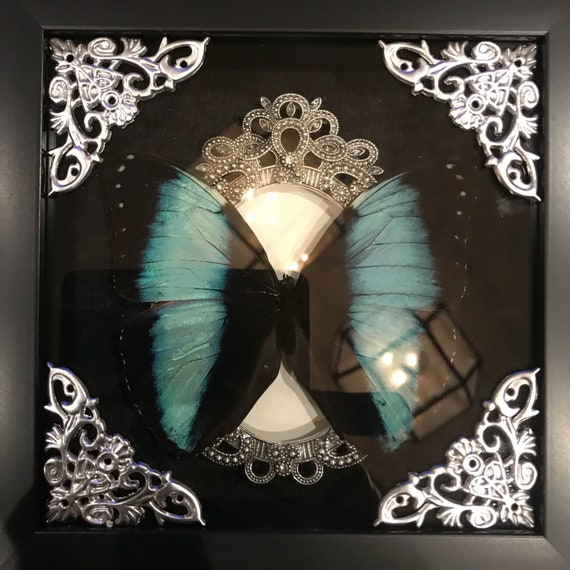 Real black banded blue morpho butterfly taxidermy display !