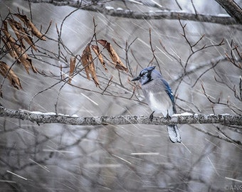 Blue Jay Fine Art Bird Photography, Home Decor Art Print, Bird in the Forest Wall Art, Winter Nature Print, Falling Snow, Bird Art