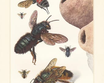 Vintage lithograph of the red mason, bees from 1956