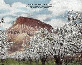 Mt. Garfield, Colorado, Peach Orchard - Vintage Postcard - Postcard - Unused (UU)