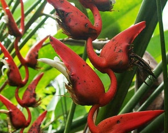 Heliconia Pendula Seeds - South American Tropical -  Amazing flowers and foliage!