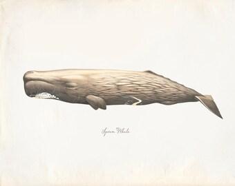 Vintage Mammal Sperm Whale Print 8x10 P221