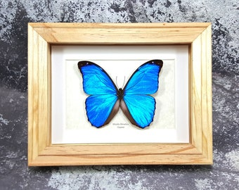 FREE SHIPPING Framed Menelaus Blue Morpho A1 Taxidermy #117