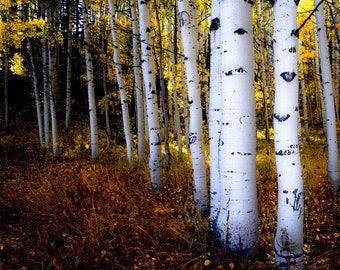 Aspen Trees, fall tree decor, Colorado art, rustic wall art, cabin decor, gold leaves photo, aspens art, fall | All of the Colors of Fall