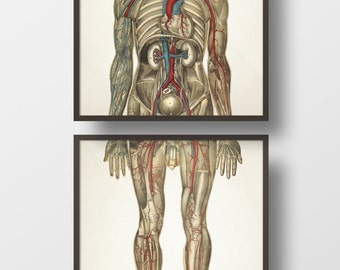 Human Anatomy CIRCULATORY System, Front Pair - HU-03 HU-04 - Fine art prints of a vintage medical anatomical illustrations
