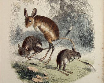 Beautiful handcoloured engraving of rodents 1860