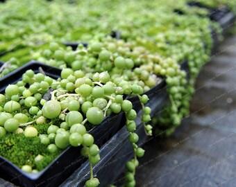 Pearl Chlorophytum Seeds 100PCS / chlorophytum seeds seed chlorophytum seeds amaniense seed blue pearl chlorophytum seeds  *