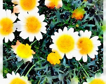 Watercolor Print - White Diasies - Floral