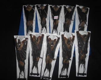 Taxidermy Fruit Bat Hipposideros Diadema Mummiefied 10 Pcs
