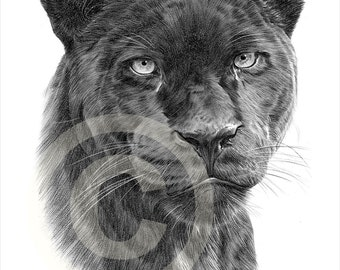 Black Panther pencil drawing print - big cat art - artwork signed by artist Gary Tymon - Ltd Ed 50 prints only - animal portrait