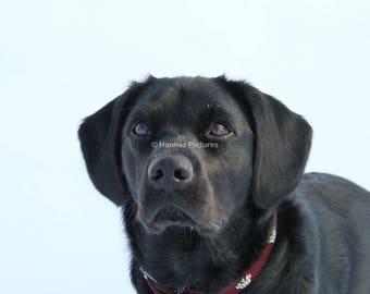 Black Labrador Retriever Print In The Snow A4