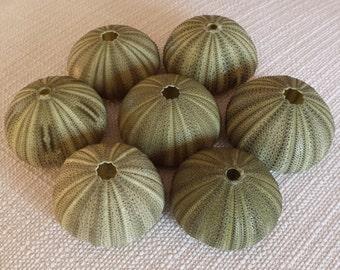 Green Sea Urchins (6), Beach Decor, Sea Urchins, Craft Shells, Seashells, Shells, Coastal Decor, Nautical Decor, Sea Urchins