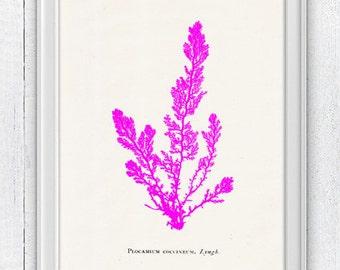 Pink sea kelp no.03- Antique sealife Illustration - color series - sea life print -Marine  sea life illustration  SWC005