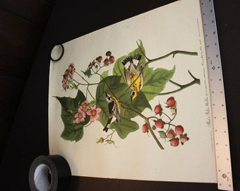 Vintage Audubon Print - Black & Yellow Magnolia Warbler (Dendroica Magnolia), Plate CXXIII, from 'The Birds of America'
