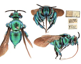 A4 size archival print - limited edition - Exaerete smaragdina, Cuckoo Orchid Bee