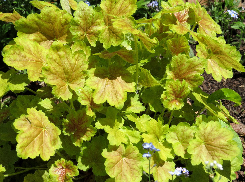 Heuchera (Heuchera \'Pretty Perrine\') - shade plants - live plants ...