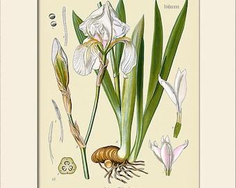 Botanical Print, Iris Art Print, Art Print with Mat, Note Card, Natural History, Wall Art, Wall Decor, Köhler's Medicinal Plants