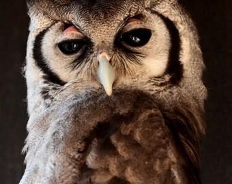 Giant Eagle Owl Photography - Owl Photo - Wildlife Nature Bird Photography - 5x7 8x10 8x12 Fine Art Owl Print - Home Decor - Owl Wall Art