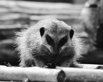 meerkat/meerkat photography/photography/photo/canvas/print/gift card/black and white