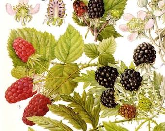 Blackberry Black Raspberries & Loganberries Berry Fruit Food Chart Vegetable Botanical Lithograph Illustration For Your Vintage Kitchen 79