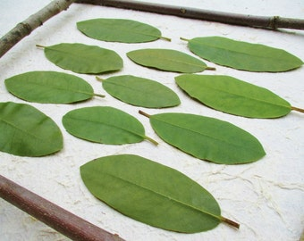 Pressed Green Leaves, Dried Preserved Green Rhododendron Leaves, Floral Craft Supply, Pressed Flower Art Leaves, Large Pressed Green Leaves