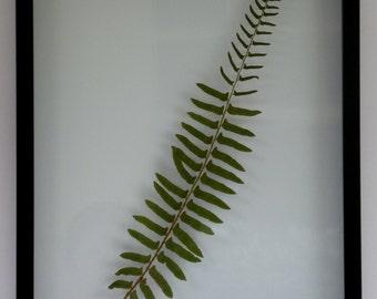 "Framed Real Pressed Fern Western Sword Fern Botanical Art Herbarium Specimen 15"" x 19"""