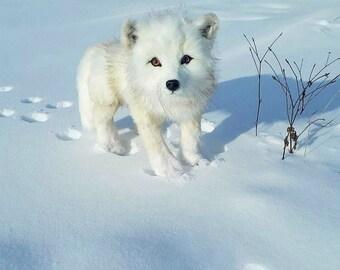 polar fox (arctic fox)