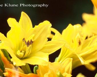 DayLilies, Flower photography,Fine art Photography, Floral Prints, Nature Photography prints, Botanical Art, Garden art, Macro Photography