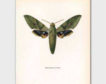 """Schmetterling Kunstdruck (oliv-grün Schmetterling Kunstwerk, Jahrgang ägyptischen Wand-Dekor)---""""Knallig Sphinx"""" Nr. 64-2"""