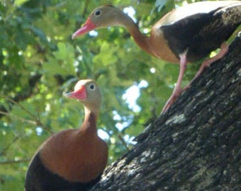 Two Whistling Ducks 18 x 24 Print