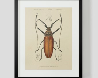 Vintage Insect Coleopteres Entomology Plate 2A