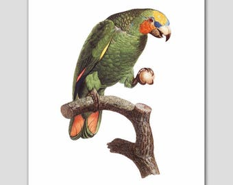 "Bird Art, Parrot Print (Home Office Artwork, Green Wall Decor) ""Favorite Toy"" 18th Century Artist"