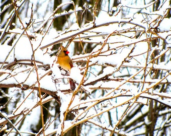 Bird Photography,Photography of Birds,Cardinal Photography,Photos of Red Birds,Female Cardinal,Cardinal in Winter Snow,Red Cardinal Picture