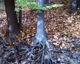 Nature Photography - tree roots, stream erosion, fall leaves, green