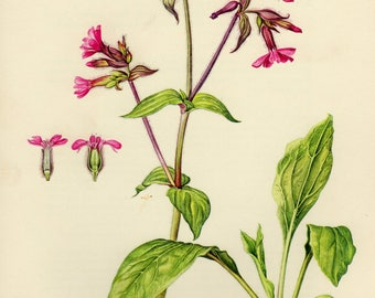 Vintage lithograph of the red campion or red catchfly from 1955