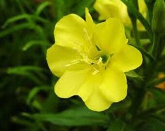 Evening Primrose Seed-Organic Heirloom Herb Seed-Non-Gmo Seed