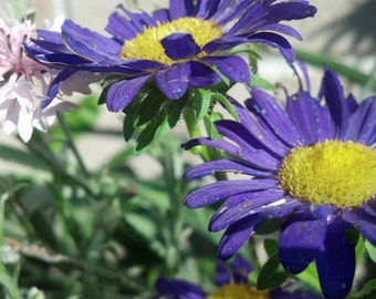 Amethyst  Aster Seeds (100ct)