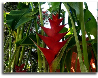 Heliconia Caribeae, Lobster claws flower, Parrot Beak flower, Heliconiaceae, Available are 5 digital files ratio at High resolution 300 dpi.