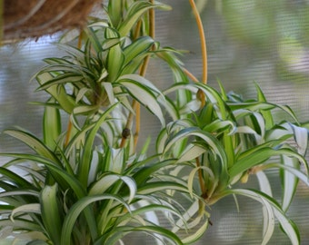 Live Spider Plant Baby BOGO Sale-Variegated House Plant, Organic Clean Air Plant